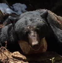 Utah Spring Black Bear Hunting